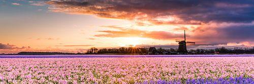 bloembollenveld  van