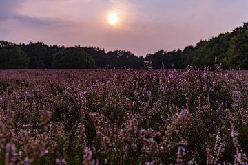 Paarse heide in bloei van Marjon Boerman
