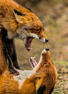 Vechtende vossen Vulpes vulpes van Rob Smit