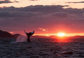 Bultrug walvis staart Zonsondergang van Paul Dolk