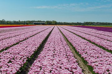 Tulpenfeld in Nordholland von Keesnan Dogger Fotografie