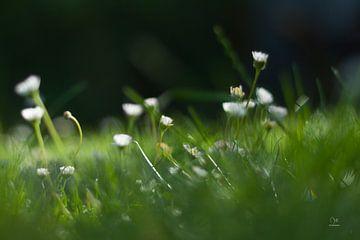 Madeliefjes in het gras sur