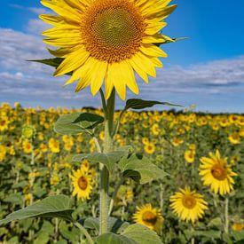 zonnebloemvelden in de provence zijn prachtig van Hillebrand Breuker