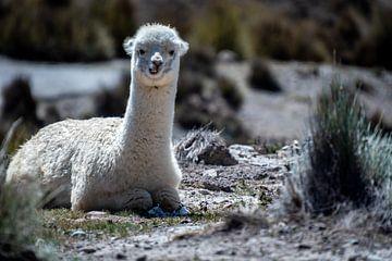 Alpaca van Eerensfotografie Renate Eerens