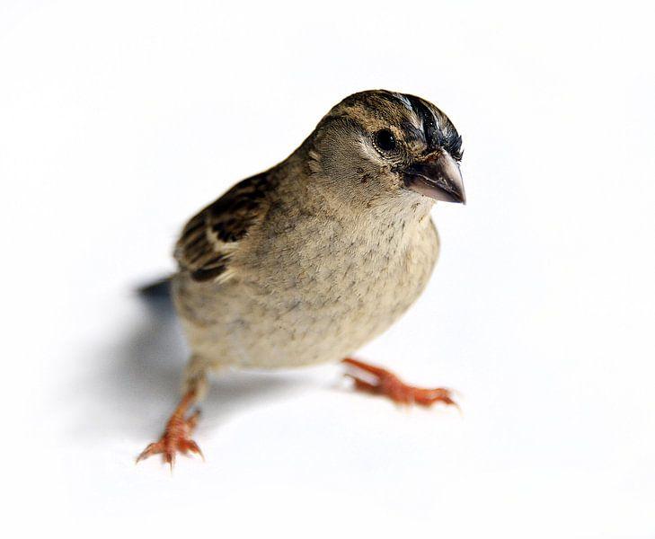 Een Musje / A Sparrow van Harrie Muis
