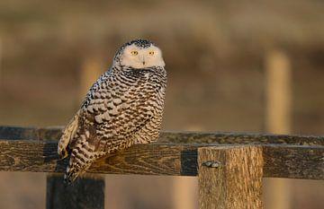 Sneeuwuil, Snowy owl van Ron Westbroek