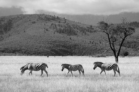 Zebra's op wandel