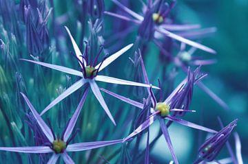 Sternblüte  sur Violetta Honkisz