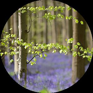 Wilde  hyacinten in het Hallerbos van Barbara Brolsma