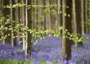 Wilde  hyacinten onder de beukenbomen
