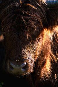 Portret van een Schotse Hooglander van Thom Brouwer