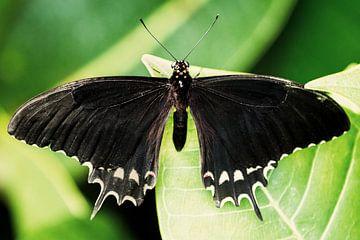 Vlinder van Marco de Waal