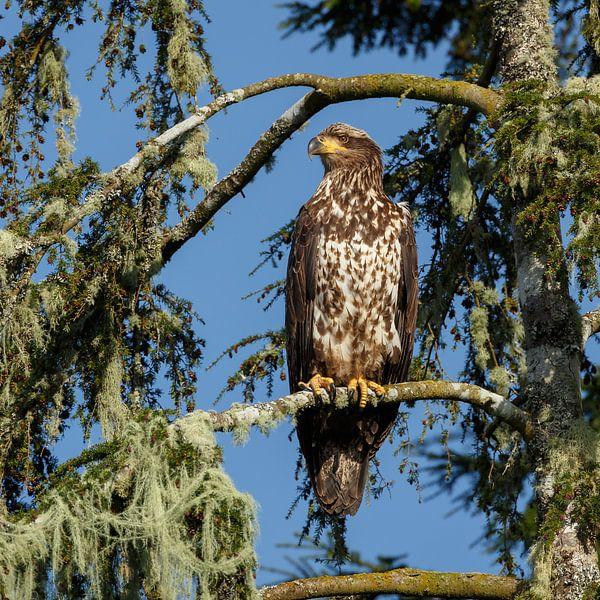 Bald eagle in nature sur Menno Schaefer