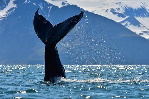 Bultrug walvis die z'n staart op het water slaat. van
