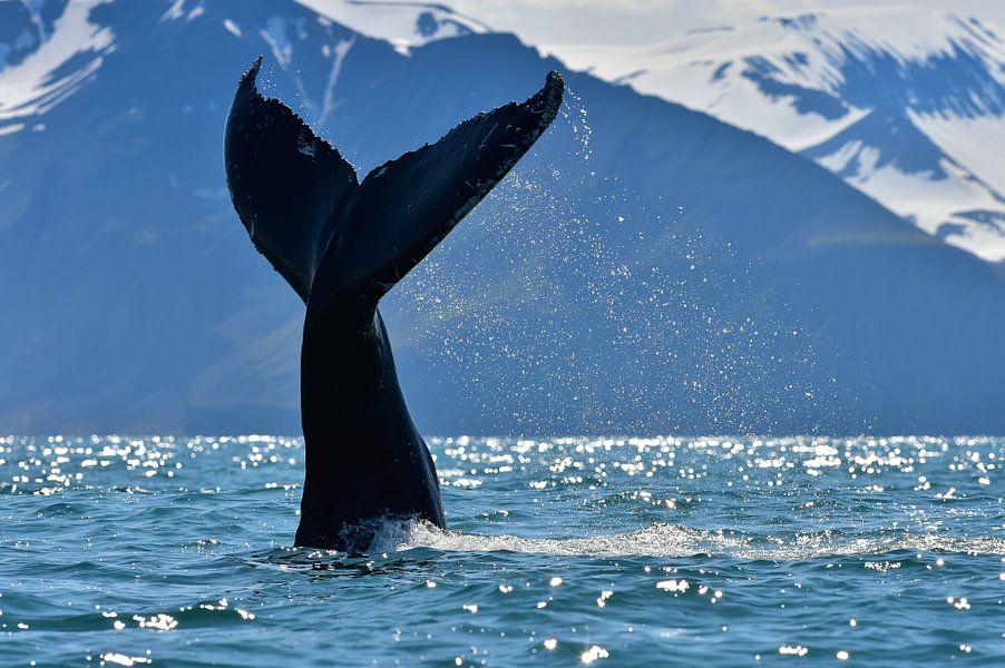 Bultrug walvis die z'n staart op het water slaat.