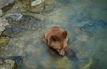 Jonge beer zoekt voedsel in de rivier, Alaska van Rietje Bulthuis