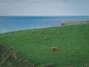 Spaanse koe