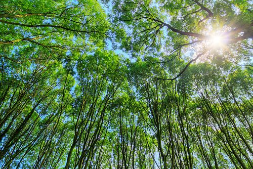Hoge bomen met zonlicht in de zomer van Dennis van de Water