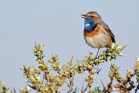 Blauwborst ( Luscinia svecica ), een van de mooiste inheemse zangvogels, wilde dieren, Europa.