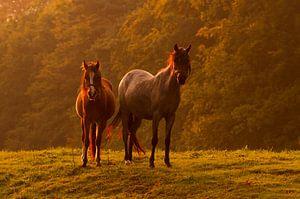 Twee paarden in het licht van de zonsondergang van