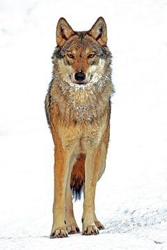Wolf sur Marcel Schauer