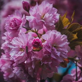 Roze lente bloesem in bloei van Koop je Canvas