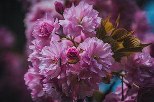 Roze lente bloesem in bloei van