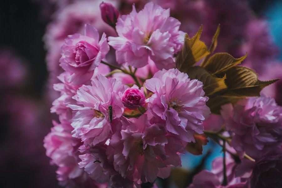 Roze lente bloesem in bloei