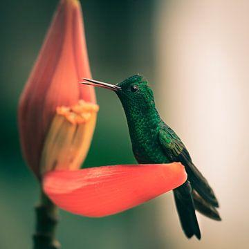 Kolibrie aan het ontbijt van YvePhotography