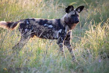 Wildhund in der Abendsonne von Britta Kärcher