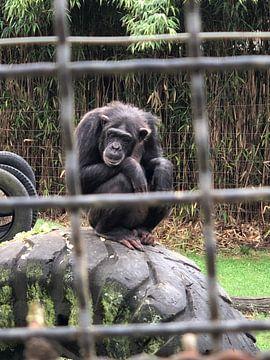 Schimpansen von tania mol