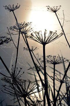 Bärenklaue im Morgennebel mit Spinnweben mit Tautropfen von Trinet Uzun