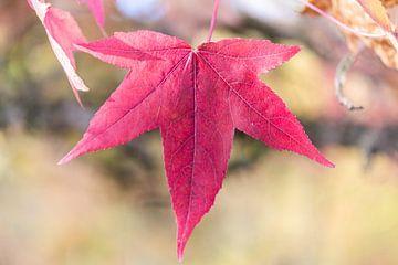 Maple leaf von Adriaan Westra