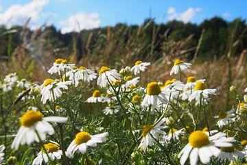 Kamille in het veld van Annika van Zonneveld