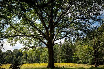 Gelbe Felder zwischen den Bäumen im Naturschutzgebiet der Kampina in den Niederlanden von Rik Pijnenburg