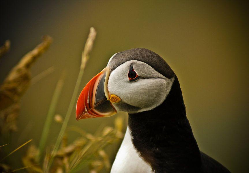 Papegaaiduiker in IJsland van Jeffrey Dolkens