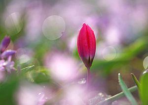 Opkomende tulp bij tegenlicht van