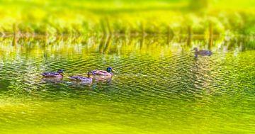 Schwimmende Entenfamilie von Achim Prill