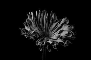 Nature morte d'une fleur en noir et blanc