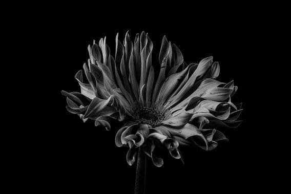 Stilleven van een bloem in zwart wit