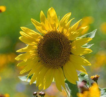 Sonnenblume von Ingrid Ronde