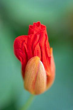 Kapuzinerkresse in rot von Julia Strube