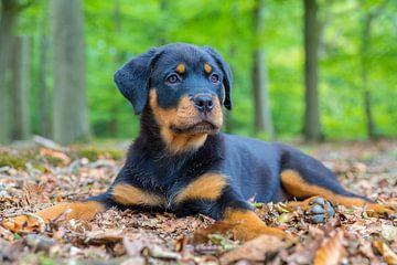 Rottweiler puppy ligt op grond met bladeren in bos van Ben Schonewille