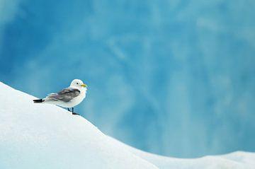 Drieteenmeeuw (Rissa tridactyla) op Spitsbergen van Beschermingswerk voor aan uw muur