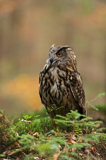 Eurasian Eagle Owl (Bubo bubo) in autumn, sitting on the ground, nice portrait, Europe.