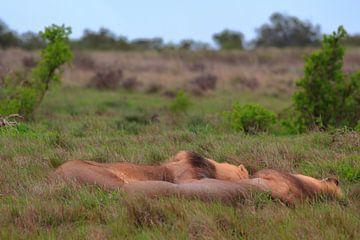 'Luierende leeuwen.' van Capture the Moment 010
