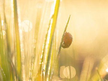Lieveheersbeestje in het ochtendlicht van Maaike Munniksma