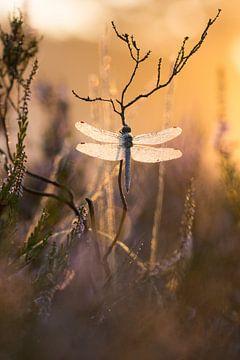 zuidelijke heidelibel bij zonsopkomst van Francois Debets