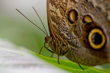 Bruine vlinder met gele ogen op de vleugels. Duidelijke roltong. van Linda Heilmann