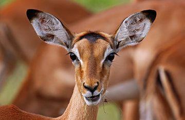 Impala - Africa wildlife sur W. Woyke